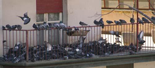 allontanare piccioni dal balcone