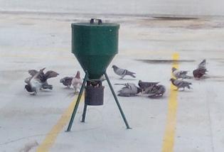 Sterilizzazione piccioni