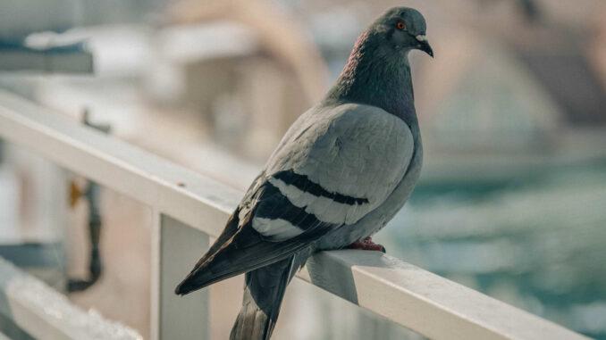 Allontanare piccioni metodi naturali